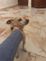Aumento de ladridos, llantos y aullidos en perros, Chihuahueño