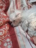 Abdomen inflamado en perros, Bichon maltés