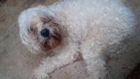 Debilidad en perros, Schnauzer estándar