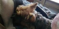 Aumento de ladridos, llantos y aullidos en perros, Yorkshire terrier