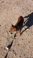 Dolor al contacto en perros, Pinscher miniatura