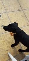 Orina en casa en perros, Labrador