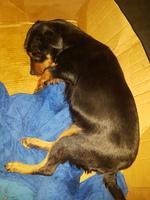 Dolor abdominal o de estómago en perros, Ratonero bodeguero andaluz