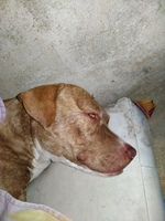 Kira, mi perro pit bull hembra, tiene vómito, babeo excesivo o espuma blanca por la boca y vómito blanco espumoso