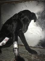 Flash, mi perro cruce de jack russell terrier macho, tiene vómito, vómito blanco espumoso y heces o diarrea muy olorosas