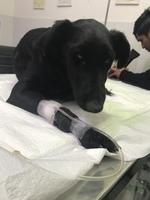 Sangre en las heces en perros, Jack Russell terrier