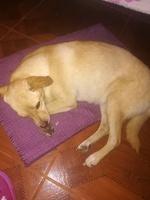 Muestra jadeo e inquietud en perros, Caniche