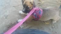 Cansancio o fatiga en perros, Westie