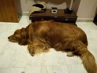 Ansiedad al comer en perros, Golden retriever