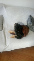 Dolor al contacto en perros, Yorkshire terrier