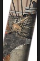 Inflamación cuello en aves, Diamante mandarín