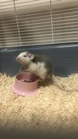 Diarrea en roedores, Rata dumbo