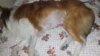 Abdomen inflamado en perros, Collie