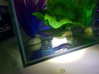 Pezi, mi pez beta macho, tiene mal apetito