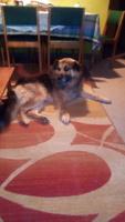Kyra, mi perro cruce de akita americano hembra, tiene mal apetito y ojos rojos