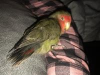 Cilio, mi ave agapornis roseicollis macho, tiene dolor de pata