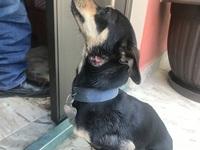Inflamación cuello en perros, Chihuahueño