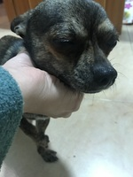 Ojos entrecerrados en perros, Chihuahueño