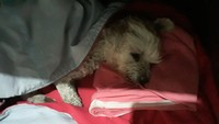 Hinchazón testicular en perros, Caniche
