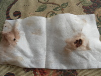Secreción en los oídos en perros, Podenco ibicenco