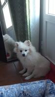 Tos en perros, Pomerania