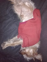 Deshidratación en perros, Yorkshire terrier