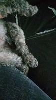 Dificultad para mover las patas traseras en perros, Crestado Chino