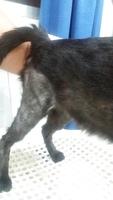 Pérdida de peso o adelgazamiento en gatos, Americano de pelo corto