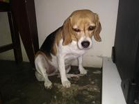 Dificultad al caminar o levantarse en perros, Beagle
