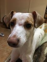 Bulto en la piel en perros, Podenco portugués
