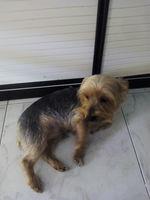 Temblores en perros, Yorkshire terrier