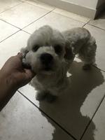 Estornudos en perros, Bichón frisé