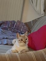Dificultad al masticar en gatos, Europeo de pelo corto