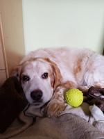 Cansancio o fatiga en perros, Spaniel bretón