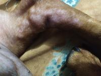 Alfred, mi perro cruce de azawakh macho, tiene caspa y úlceras en la piel