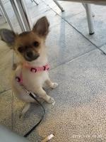 Deshidratación en perros, Chihuahueño