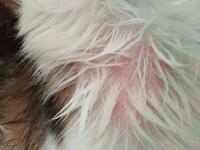 Enrojecimiento de la piel en perros, Shih Tzu