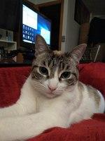 Muestra agresividad en gatos, Siamés