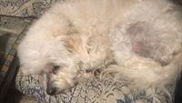 Tiffany, mi perro cruce de caniche hembra, tiene picor y rascarse, muerde y se chupa las patas