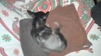 Antoñito, mi perro pinscher miniatura macho, tiene vómito, ansiedad al comer y hinchazón testicular