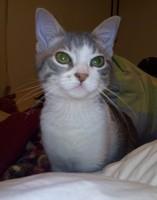 Lame mucho sus genitales en gatos, Gato de pelo curto Europeu