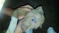 Edema en la piel en perros, Pit bull
