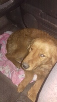 Dificultad al caminar o levantarse en perros, Golden retriever