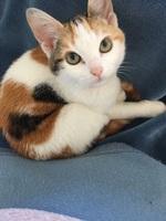 Muestra agresividad en gatos, Común europeo