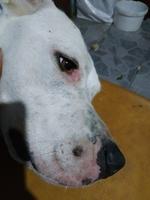 Hanny, mi perro dogo argentino hembra, tiene picor y rascarse, muerde y se chupa las patas