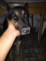 Gala, mi perro cruce de pastor alemán hembra, tiene pérdida de peso o adelgazamiento, debilidad y mal apetito