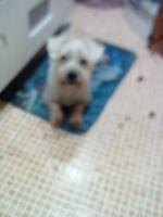 Mal aliento en perros, Airedale terrier