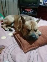 Estornudos en perros, Shar Pei