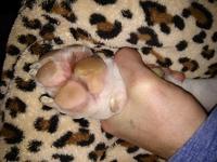 Jan, mi perro staffordshire terrier americano macho, tiene se chupa las patas
