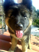 Kera, mi perro pastor alemán hembra, tiene dificultad para mover las patas traseras y dificultad al caminar o levantarse